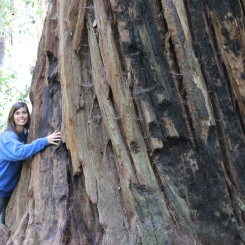 Redwood tree, Big Basin Redwood State Park 2015