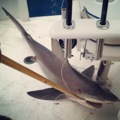 We caught a shark, Ft. Lauderdale 2014